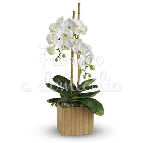 orchidea-phalenopsis-bianca